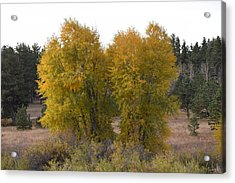 Aspen Trees In The Fall Co Acrylic Print