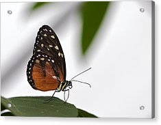 Butterfly Acrylic Print by Theo Tan