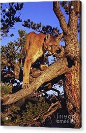 Mountain Lion Acrylic Print by Dennis Hammer