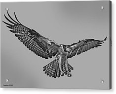 Osprey Flight Acrylic Print