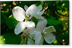 Apple Blossoms Acrylic Print by Johanna Bruwer