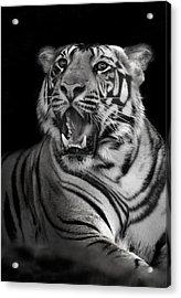 Bengal Tiger Panthera Tigris Tigris Acrylic Print