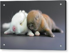 11 Day Old Bunnies Acrylic Print by Copyright Crezalyn Nerona Uratsuji