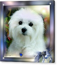 Hermes The Maltese Acrylic Print by Morag Bates