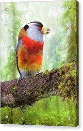 Toucan Barbet Acrylic Print