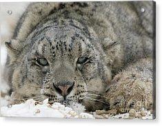 Snow Leopard Acrylic Print by Jean-Louis Klein & Marie-Luce Hubert