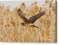Harrier Hawk Acrylic Print by Dennis Hammer