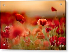 Poppy Dream Acrylic Print