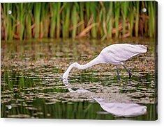 White, Great Egret Acrylic Print
