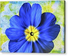 Blue Primrose Acrylic Print