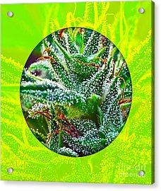 Cannabis 420 Collection Acrylic Print by Marvin Blaine