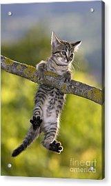 Kitten In A Tree Acrylic Print by Jean-Louis Klein & Marie-Luce Hubert