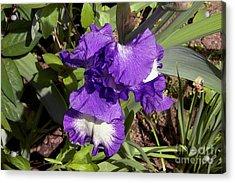 Nice Iris Acrylic Print