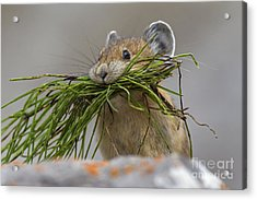 Pika With A Mouthful  Acrylic Print