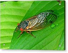 17 Year Periodical Cicada Acrylic Print