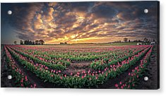 Acrylic Print featuring the photograph 180 Degree View Of Sunrise Over Tulip Field by William Lee