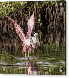 A Pair Of Spoonbills Acrylic Print