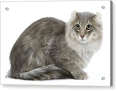 American Curl Cat Acrylic Print by Jean-Michel Labat
