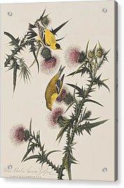American Goldfinch Acrylic Print by John James Audubon