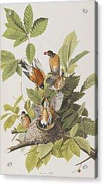 American Robin Acrylic Print by John James Audubon