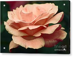Antique Rose Acrylic Print by Donna Bentley