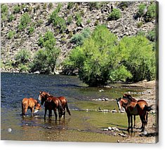 Arizona Wild Horses Acrylic Print