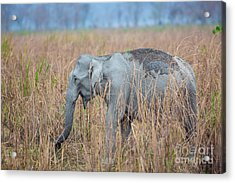 Asian Elephant, India Acrylic Print