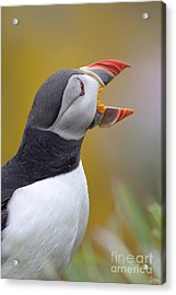 Atlantic Puffin - Scotland Acrylic Print