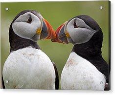 2 Atlantic Puffins Touching Beaks Acrylic Print by Jonathan Lewis