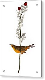 Audubon: Warbler, (1827) Acrylic Print by Granger