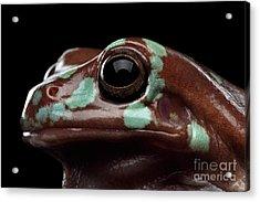 Australian Green Tree Frog, Or Litoria Caerulea Isolated Black Background Acrylic Print by Sergey Taran