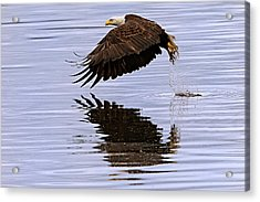 Bald Eagle Flying Acrylic Print by Ed Book