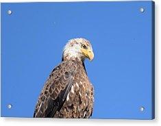 Bald Eagle Juvenile Perched Acrylic Print