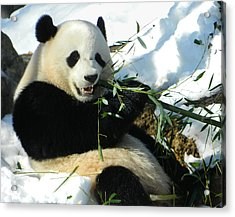 Bao Bao Sittin' In The Snow Taking A Bite Out Of Bamboo1 Acrylic Print