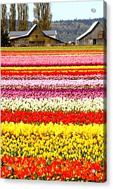 2 Barns And A Field Of Tulips Acrylic Print by Karla DeCamp