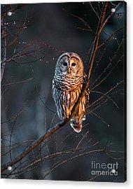 Barred Owl Tall Acrylic Print by Benjamin Williamson