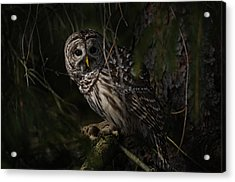 Acrylic Print featuring the photograph Barred Owl In Pine Tree by Michael Cummings