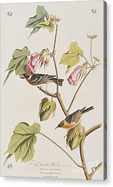Bay Breasted Warbler Acrylic Print by John James Audubon