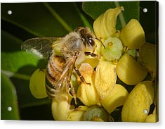 Acrylic Print featuring the photograph Bees Gathering From Pittosporum Flowers by Jim Thompson