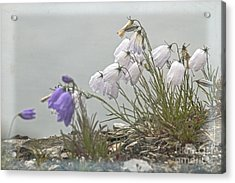 Acrylic Print featuring the photograph Bellflower by Heiko Koehrer-Wagner