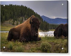 Bison Acrylic Print by Patrick  Flynn