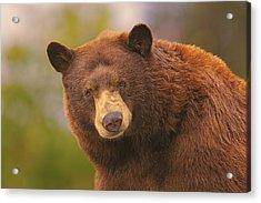 Black Bear Acrylic Print by Brian Cross