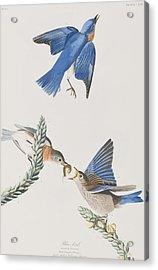 Blue-bird Acrylic Print by John James Audubon