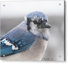 Blue Jay In A Blizzard Acrylic Print