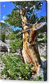 Bristlecone Loop Trail Acrylic Print