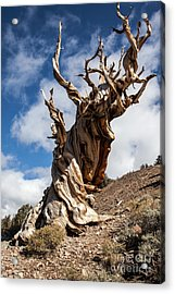 Bristlecone Pine Acrylic Print by Richard Smukler