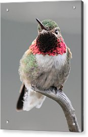 Broad-tailed Hummingbird Acrylic Print by Shane Bechler
