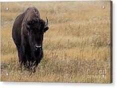 Buffalo Acrylic Print by Juli Scalzi
