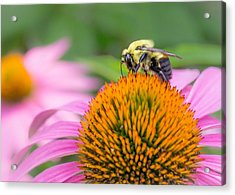Bumble Bee On Coneflower Acrylic Print by Jim Hughes