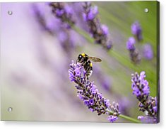 Bumblebee And Lavender Acrylic Print